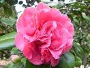 桃色 牡丹咲き 中輪 有香