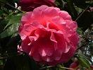 鮮濃桃色 八重〜牡丹咲き カーブした弁 巨大輪