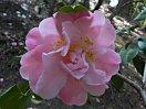 淡桃色 葯は黄金 クリーム色の花柱 牡丹咲き 大輪
