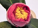 濃紅色 一重 椀咲き 太目の筒しべ 中輪