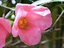 明桃色 一重 猪口咲き 侘芯 極小輪