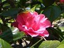 桃紅色 ときに白斑 極小輪 八重