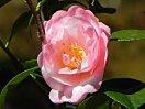 桃色地 底白気味 八重 抱え咲き 筒〜割りしべ 中輪