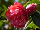 紅色地 白斑入り 八重咲き 中輪