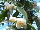 白色 極小輪 筒咲き〜盃状咲き