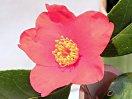 濃紅色 一重 キキョウ咲き 剣弁