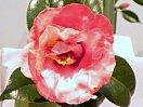 濃紅色地 白斑入り 八重咲き 筒しべ 大輪