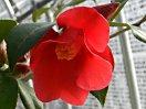 鮮紅色 一重 中折れ弁 筒・ラッパ咲 筒しべ 小・中輪