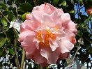 淡桃色 時に霜降り状に白 バラ〜千重咲き 中輪