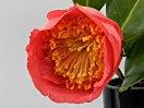 桃紅色 一重 抱え咲き 筒しべ 中輪