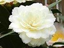 淡黄色 千重咲き 大輪