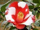 濃紅色地 白斑入り 一重 椀咲き 筒しべ 中〜大輪