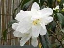 白色 八重 蓮華咲き 中輪