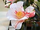 白地 紅色大小縦絞り 一重 長いラッパ咲き 中輪