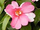 桃色 一枚おきに白の雲状斑入り 一重 平開咲き サザンカ芯 中輪