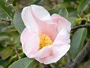 極淡桃色地 外弁に淡桃ぼかし 一重 猪口咲き 侘芯 極小輪