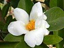 白色 5〜9弁 花径:4〜7cm