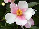 色と白色の弁が交互に並ぶ「一枚変わり」の一重 椀咲き 筒しべ 中輪