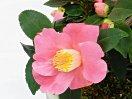 桃紅色 一重 盃状咲き 極小輪