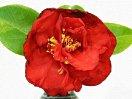 暗紅色 半八重咲き 中輪