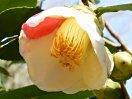 白色地に紅縦絞り、桃色地に白覆輪と縦絞り、白無地、紅無地など五色に咲き分ける 一重 筒咲き 筒しべ 小輪
