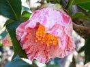 白地または淡桃色地に小絞り〜縦絞り 一重 ラッパ咲き 筒しべ 中輪
