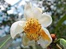 白色 10〜12弁 花径:5〜6センチ