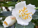 白色で、外弁の先端がわずかに帯紅色、極小輪、花形は盃状