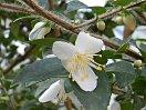 白色 外弁の先端がごくわずかに淡桃色 五弁 ラッパ〜平開咲き 極小輪
