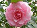 桃色 千重咲き 大輪