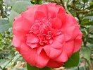 紅色 唐子咲き 大輪