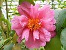 桃色 大輪 半八重〜牡丹咲き