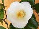 白色 一重 筒咲き 筒しべ 中輪