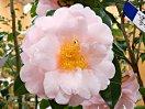 淡桃色 牡丹〜八重咲き 割りしべ 大輪