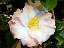 極淡桃色地 桃色ぼかし 八重〜牡丹〜宝珠咲き 割りしべ 中〜大輪