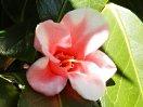 桃紅色地 白斑入り 一重 猪口咲き 侘芯 極小輪