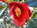 濃紅色 一重 猪口咲き 侘芯 極小輪
