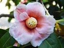 淡桃色地 白覆輪ぼかし 一重 猪口咲き 侘芯