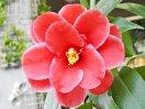 濃紅地白の深い覆輪 蓮華咲き 中輪