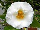 白色 八重咲き 大輪