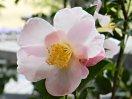 淡桃色地ぼかし入り 一重咲き 極小輪 有香