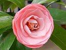 明るいピンク地 暗赤色の弁脈 千重咲き 中輪