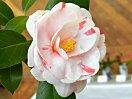 桃色 白地に底桃 白地に紅縦絞りなど多様に咲き分ける 八重 中輪