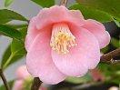 濃桃色 6〜9弁 小輪 ラッパ咲き
