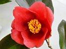 鮮紅色 一重 椀咲き 筒しべ 中輪