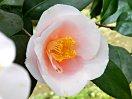 淡桃色 半八重咲き 樋弁 散しべ 旗弁 中輪