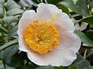 淡桃色 一重 平開咲き 梅芯 大輪