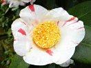 淡桃色地 弁端が濃色ぼかし 一重 筒〜ラッパ咲き 中輪