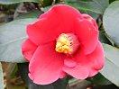 桃紅色 9〜11弁の八重 筒咲き 筒しべ 侘芯 小輪