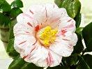 白色地 わずかに紅縦絞り 八重咲き 中大輪